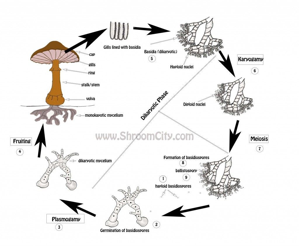 Mushroom Life Cycle